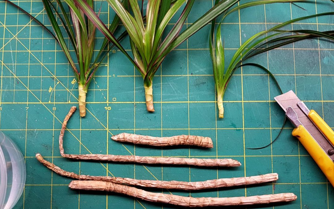 Golden dragon tree cuttings organon v1b antagonist